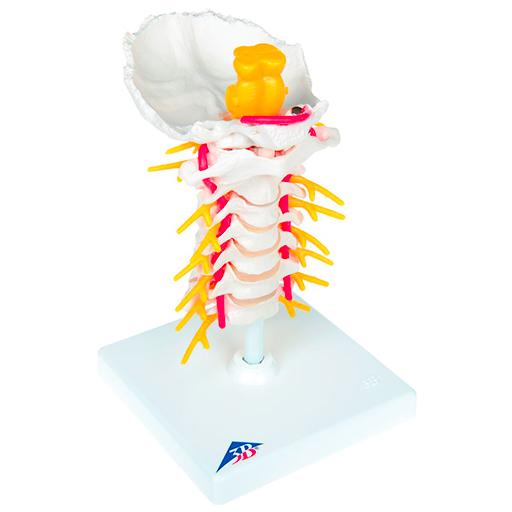 Cervical Human Spinal Column Model