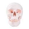 Classic Human Skull Model