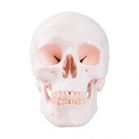 Modèle classique du crâne humain