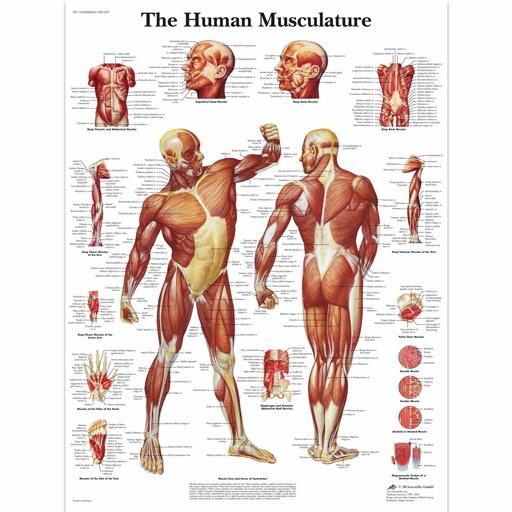 Charte du muscle humain
