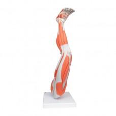 Modèle de jambe musculaire, 3/4 grandeur nature
