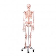 Human Skeleton Model Stan