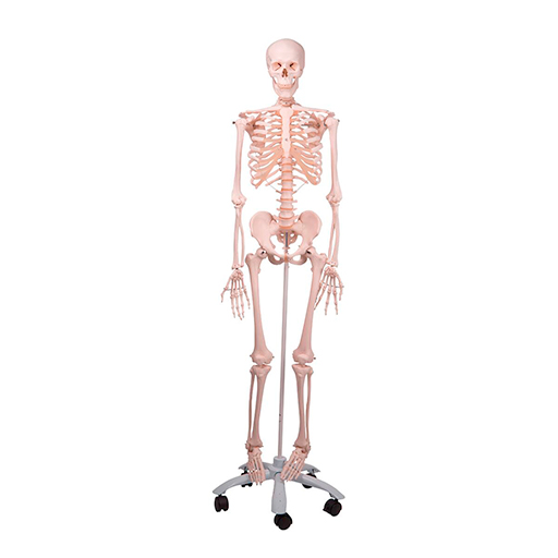 Human Skeleton Model Stan