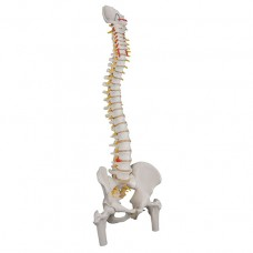 Classic Flexible Human Spine Model