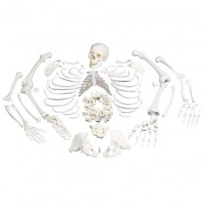 Disarticulated Human Skeleton Model