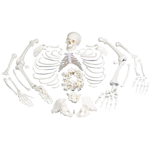 Modèle du squelette humain désarticulé