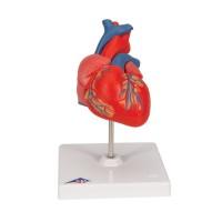 Modèle classique du cœur humain