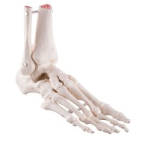 Foot & Ankle Skeleton, Elastic Mounted