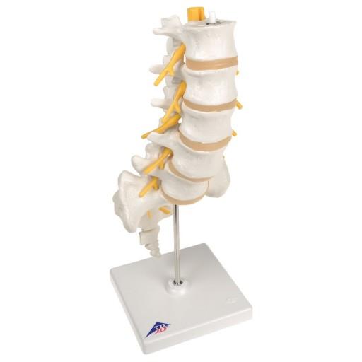 Lumbar Human Spinal Column Model