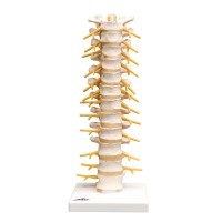 Thoracic Human Spinal Column Model