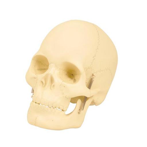 Basic Human Skull Model