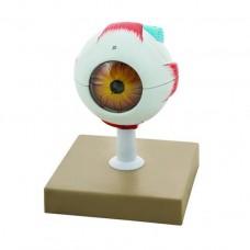 Modèle d'oeil humain