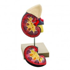 Human Kidney with Adrenal Gland